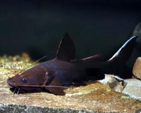 Black Devil Catfish