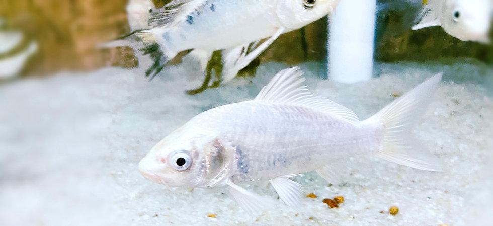 Platinum Koi- Cyprinus Carpio