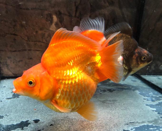 Short-Tail Ryukin Goldfish