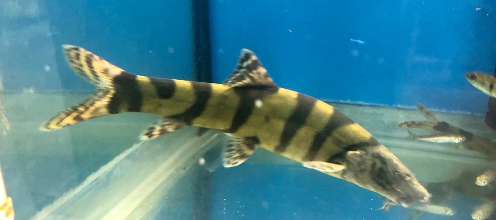 Imperial Loach