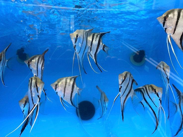 wildcaught angelfish group of 5