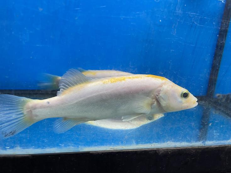 White Mandarin Perch (Siniperca scherzeri)