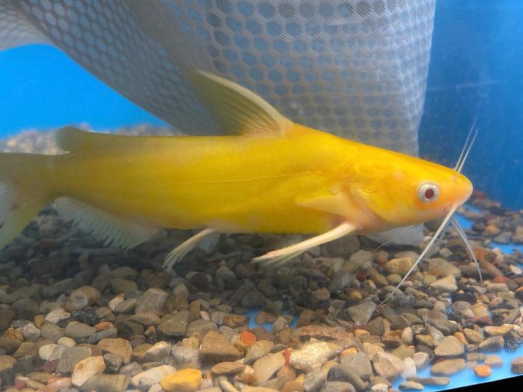 Yellow Amur Catfish