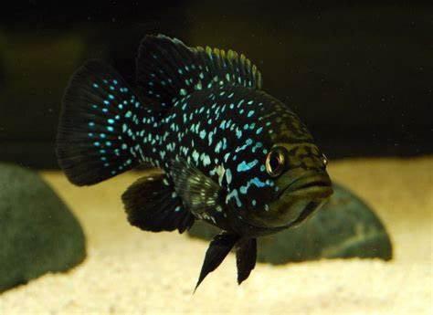 "Starry Night Cichlid ""Bleekeri"" (Paratilapia polleni)"