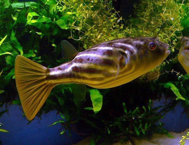 Fahaka Pufferfish