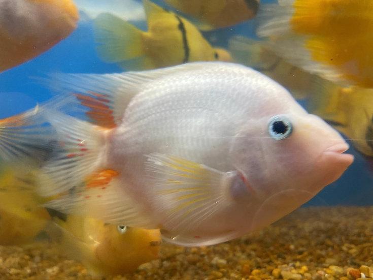 White Parrot Cichlid