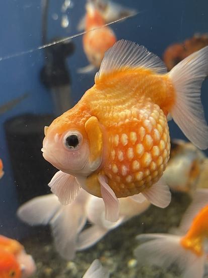 Pearl Scale Goldfish (Carassius auratus)