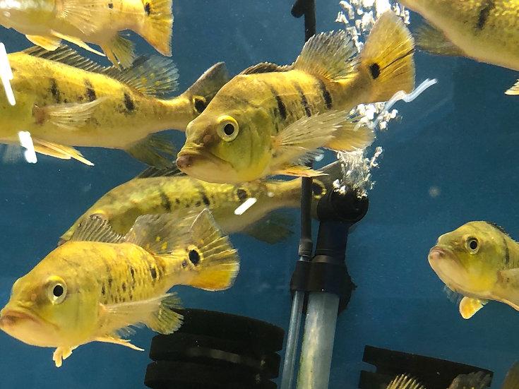 Yellow Kelberi Peacock Bass (Wild)