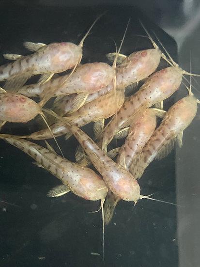 Albino Marble Hoplo Catfish