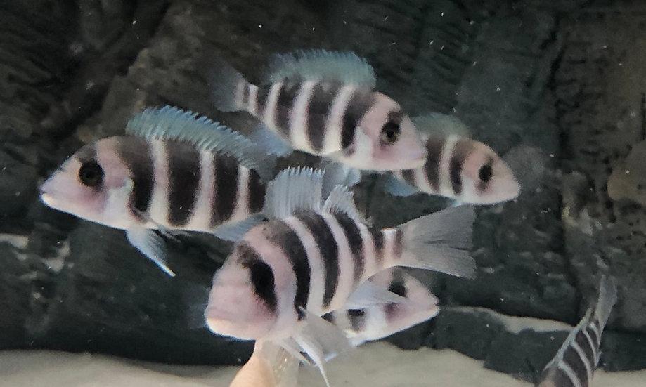 Blue Frontosa Cichlid