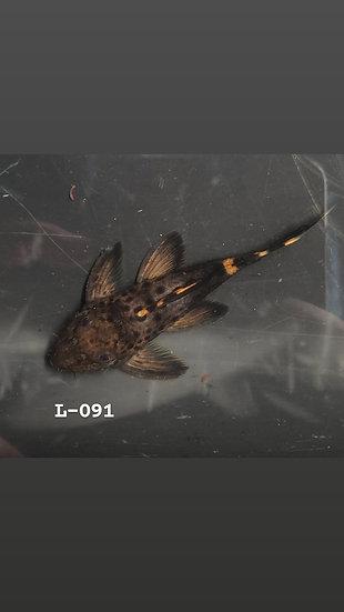 L-091 leporacanthicus triactis