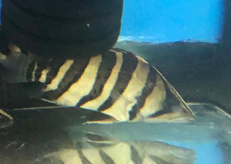 4 Bar Golden Sumatra Datnoid