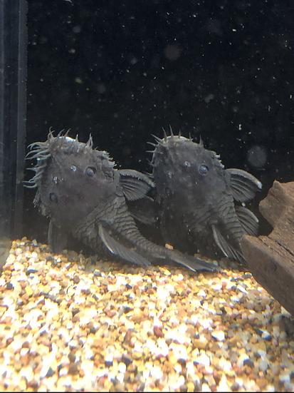Medusa Pleco L-034