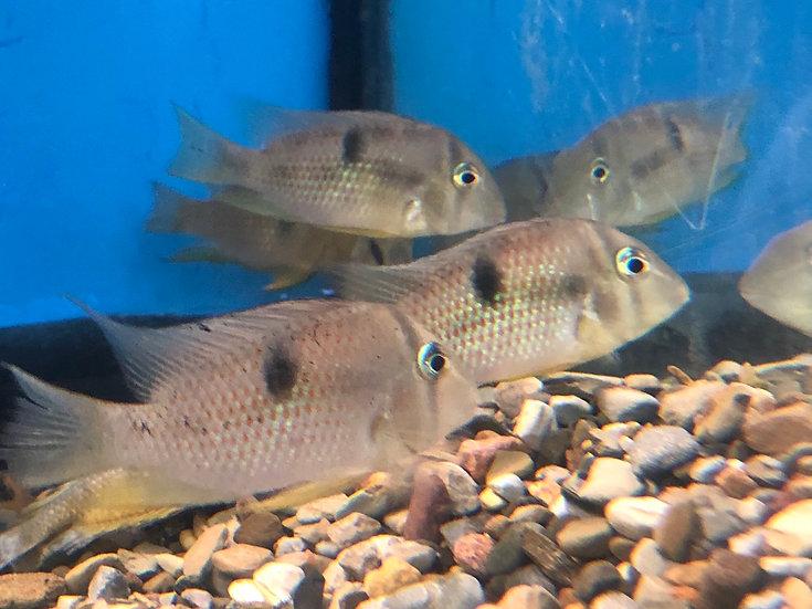 Blue Guianacara Cichlid