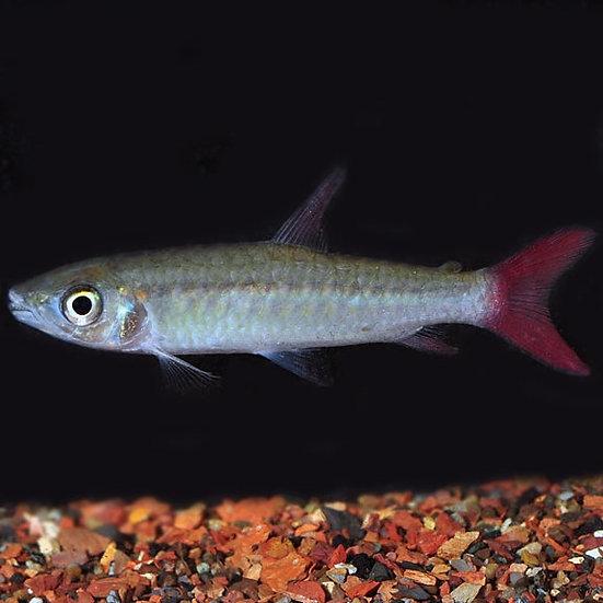 Pinktail Chalceus (Chalceus macrolepidotus)