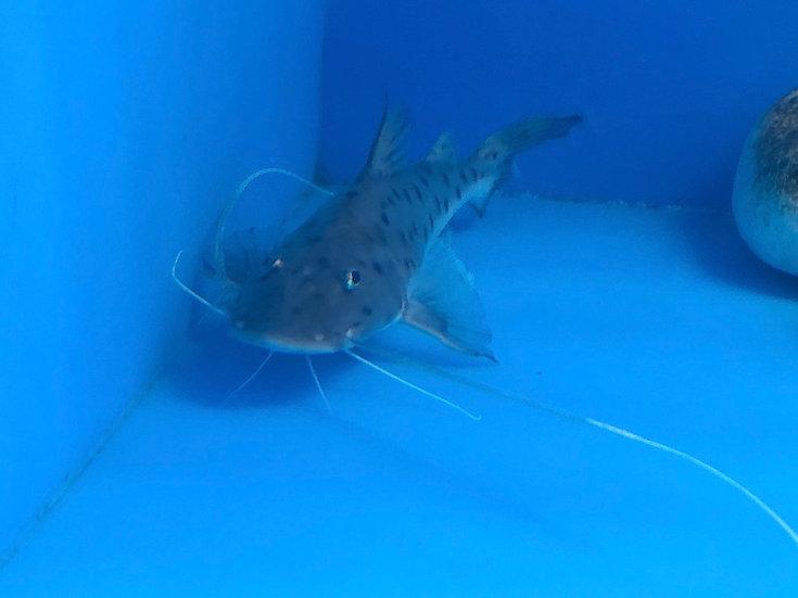 """TRUE* Piraiba catfish  7""""-8"""""""