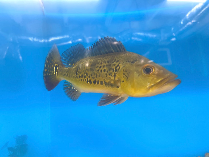Spider Kelberi Peacock Bass