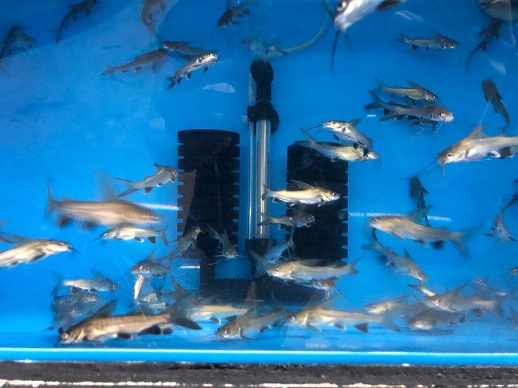 Colombian Shark Catfish