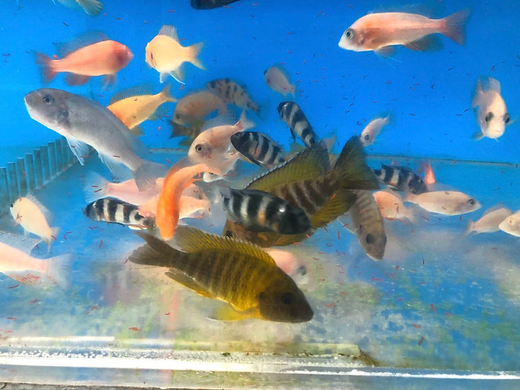Group of 6 mixed African cichlids