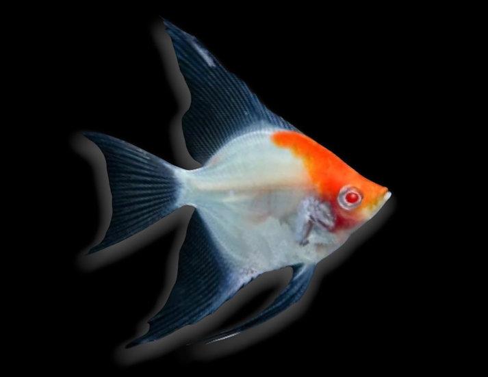 Angelfish (exotic)