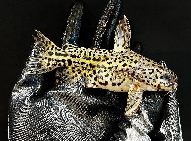 Jaguar Catfish (Liosomadoras oncinus)