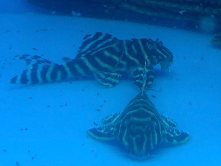 Imperial King Tiger Pleco L-333