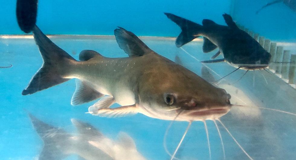 Papua New Guinea Shark