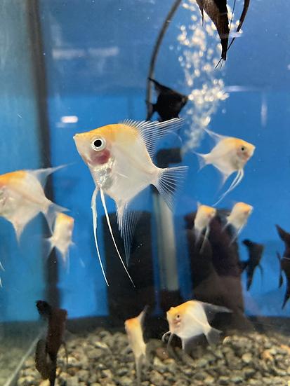 Gold blusher angelfish
