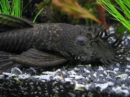 L034 Medusa Pleco (Ancistrus ranunculus)