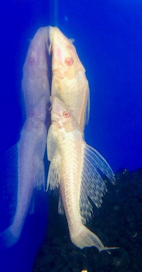Albino Sailfin Pleco