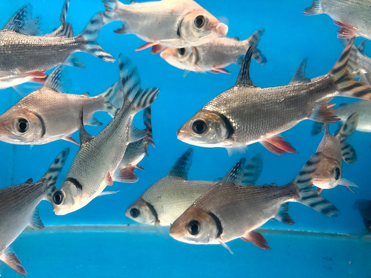Red Fin Prochilodus (FLAGTAIL)