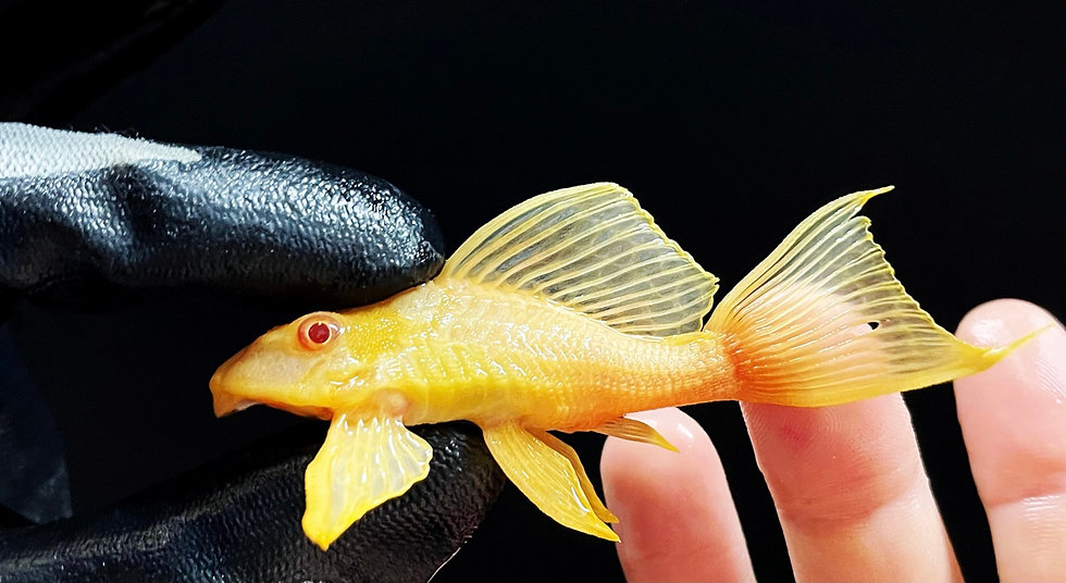 Albino Short-Body Sailfin Pleco