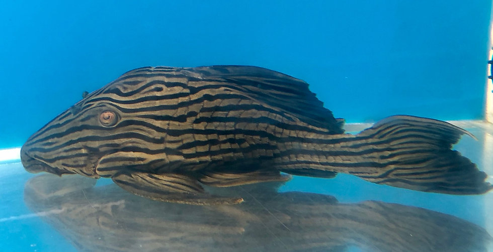 Royal Gold Line 'Xingu' Pleco L-027 (XL)