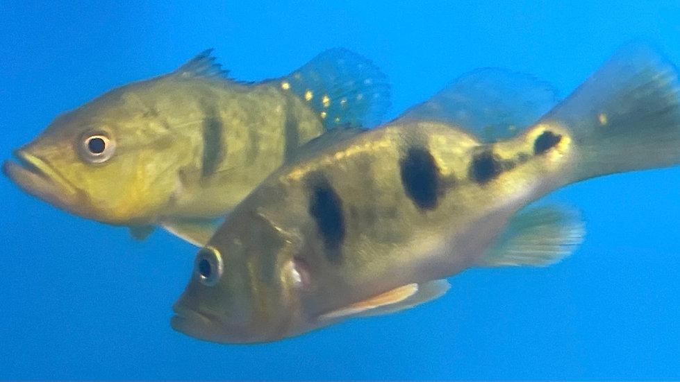 Shortbody Kelberi Peacock Bass