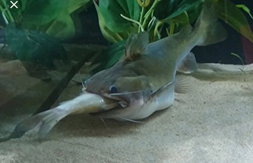 Gulper Catfish
