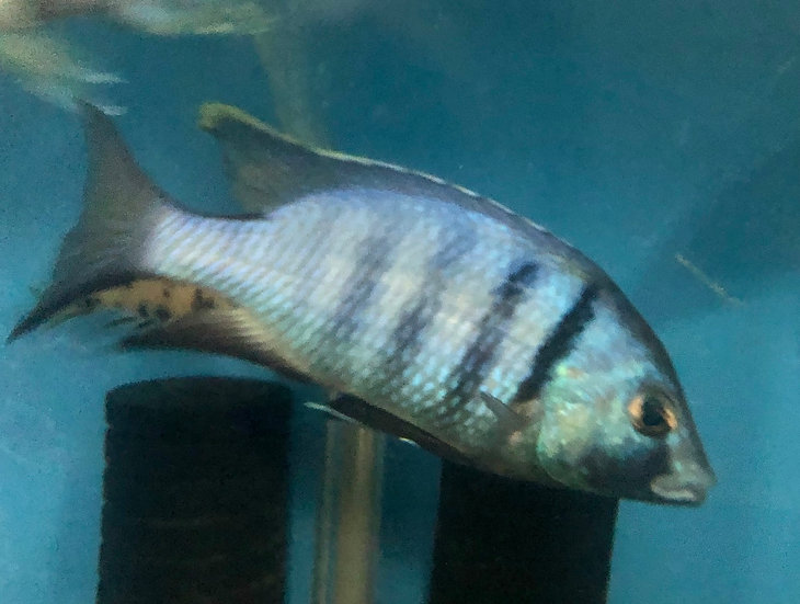 Electra Cichlid 'Deepwater Hap' XLG