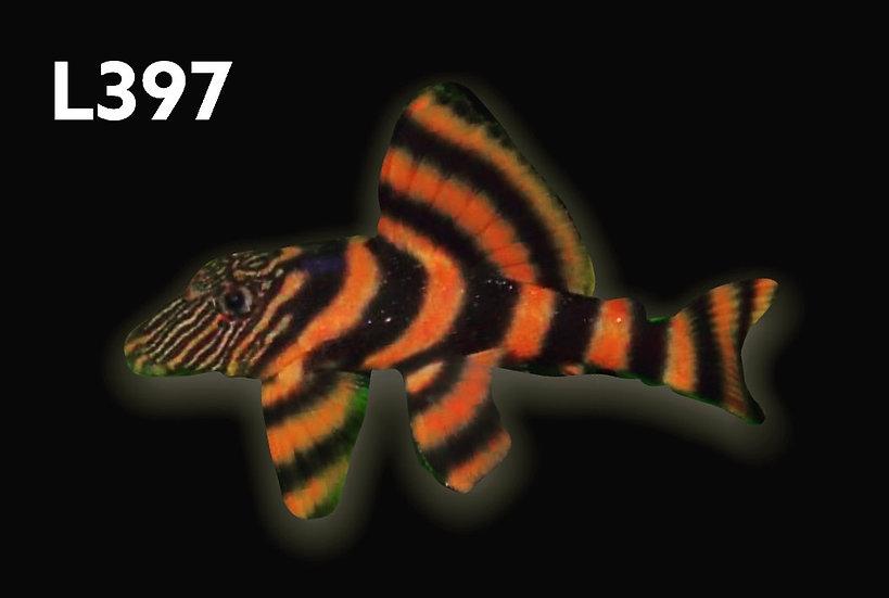 L-397 Tiger Alenquer Pleco