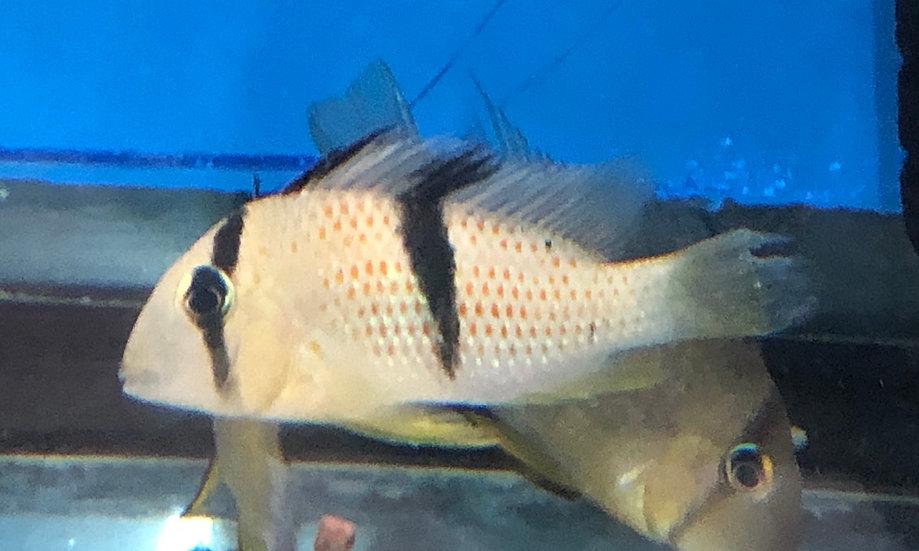 Guianacara Sphenozona Cichlid