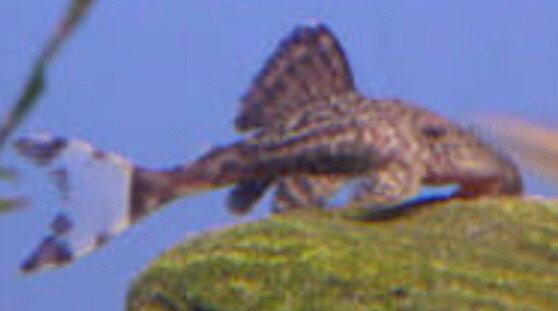 Papa Lyretail Pleco L090C