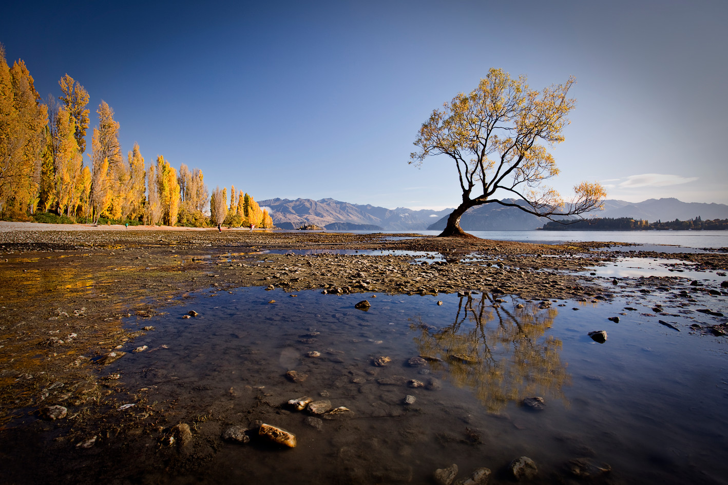 Wanaka willow in Autumn, Otago