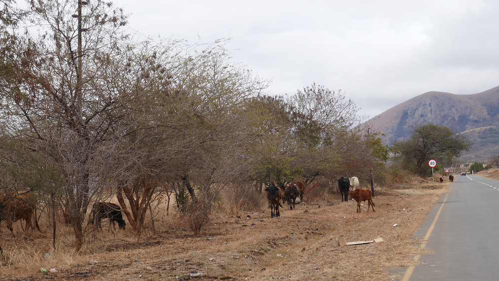 Attention, bétail! Ekulindeni, Afrique du Sud.