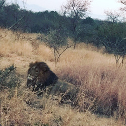 The real Lion King, Karongwe Reserve