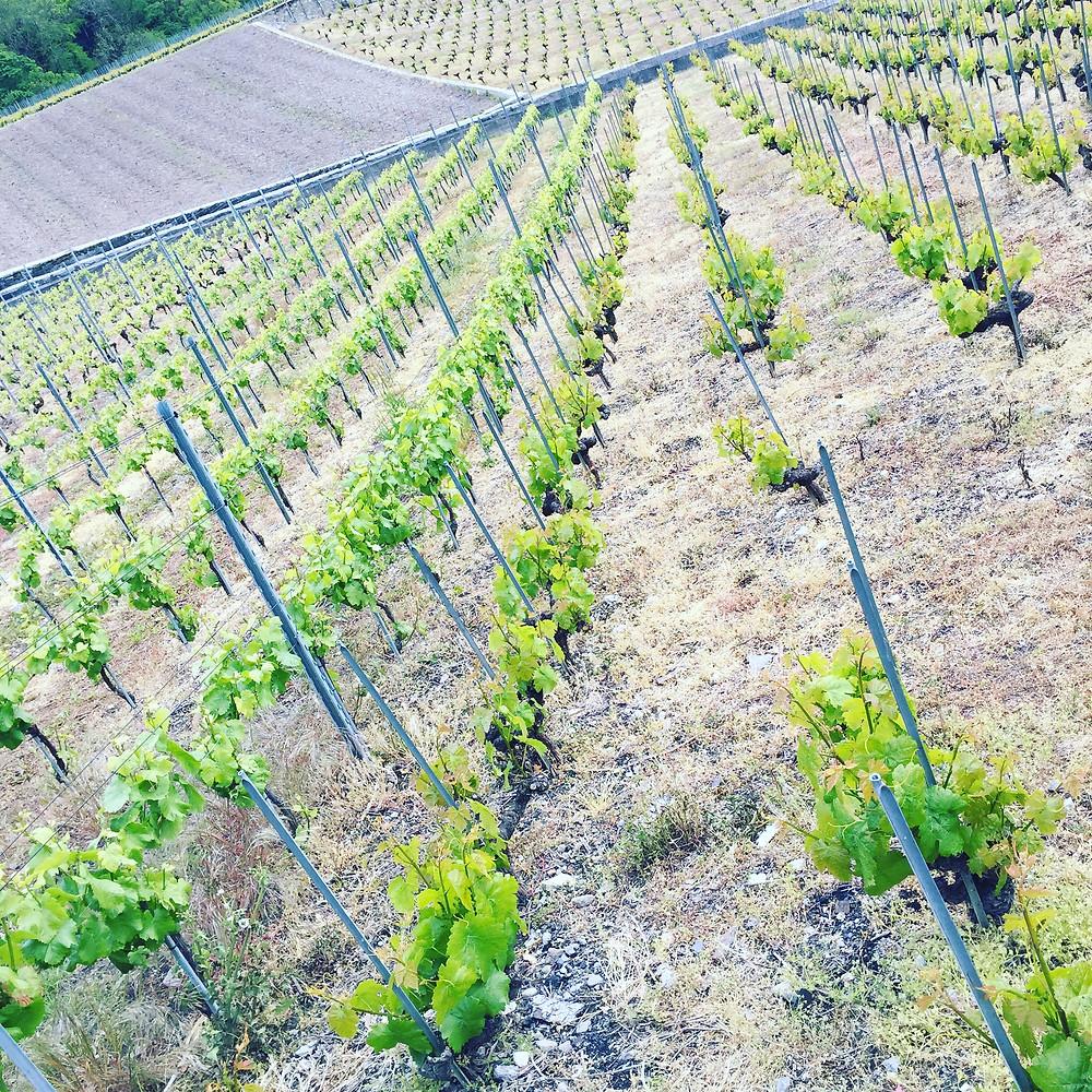 Les vignes de Bex, en Suisse