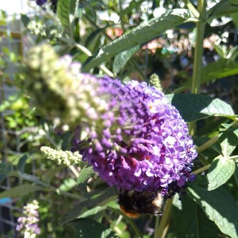 Buddleya Bee.jpg