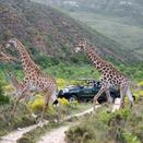 Giraffe in Gondwana