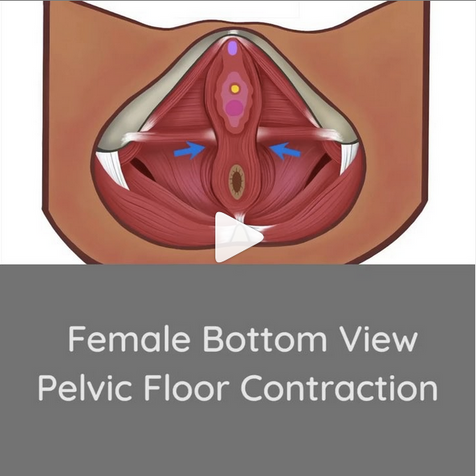 Female bottomview contraction.png