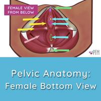 Pelvic Anatomy Female Bottom View