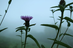 Thistle in the mist