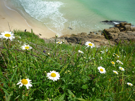 Daisys Over Porthcurno