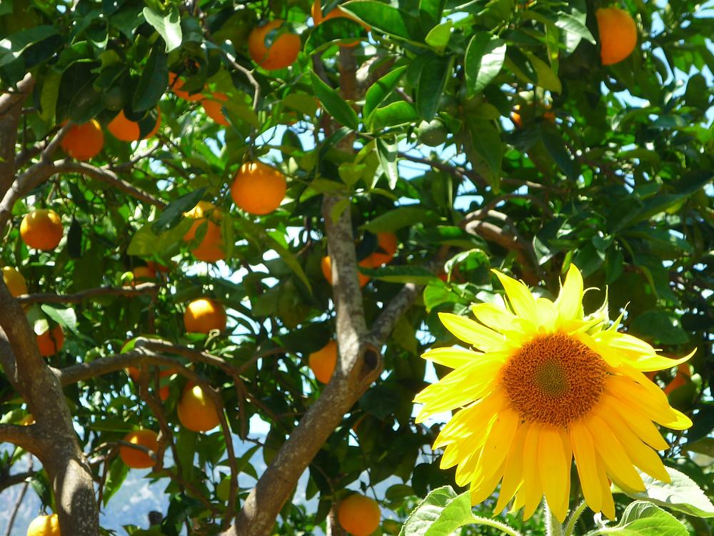 Oranges Sunflower